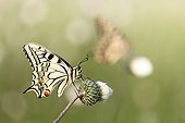 Old World Swallowtail on flower in scrubland - France
