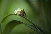 Tree frog on a leaf - Mejean pond France