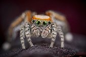 Jumping Spider male on flowersupport - France