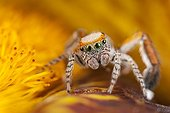 Jumping Spider male in a flower - France ; on flowersupports