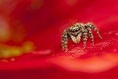 Jumping Spider female on flower - France ; on flowersupport