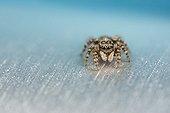Jumping Spider female on metallic bottle - France