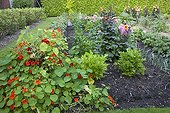 Nasturtium and dahlia 'Park Princess' in bloom in a garden