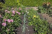 Dahlia in bloom in a kitchen garden