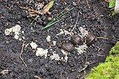 Eggs of snails in a garden