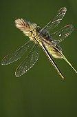 Western Club-tailed Dragonfly - Burgundy France