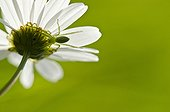 Green Huntsman Spider lurking in a Daisy - Burgundy France