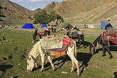 Small ladakhis horses sheeted and saddled - Himalaya India