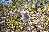 Brown-tail moth caterpillar nest on a seabuckthorn
