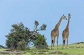 Masai giraffes walking in the savannah - Masai Mara Kenya
