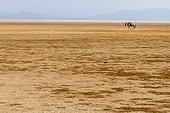 White-bearded Wildebeest on dried lake - Amboseli Kenya