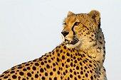 Portrait of Cheetah in the savanna - Masai Mara Kenya