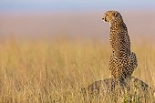 Cheetah looking for a prey in savanna - Masai Mara Kenya