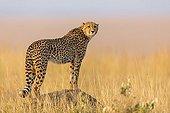 Cheetah looking for a prey in savanna - Masai Mara Kenya