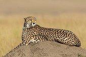 Cheetah at rest on termit mound - Masai Mara Kenya