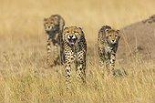 Cheetah female and cubs - Masai Mara Kenya