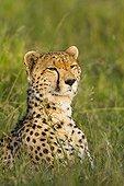 Portrait of Cheetah lying in the savannah - Masai Mara Kenya