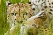 Portrait of Cheetah suffocating a prey - Masai Mara Kenya
