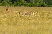 Guépard en course dans la savane - Masaï Mara Kenya