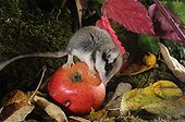 Garden dormouse eating an apple - Lorraine France