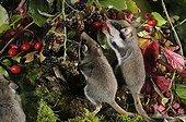 Garden dormice eating Blackberry - Lorraine France