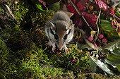 Garden dormouse eating Blackberry - Lorraine France