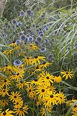 Orange coneflowers and globe thistles in bloom in a garden
