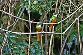 Rufous-tailed Jacamars on a branch - Mato Grosso - Brazil