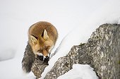Red fox in the snow - Gran Paradiso Italy