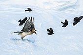 Lammergeier and Alpine Chougs in flight in winter - Alps Switzerland
