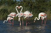 Greater flamingos in shallow water - Camargue France