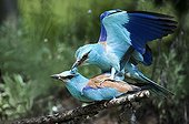 European Roller mating - Bulgaria