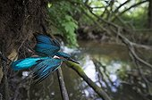 Kingfisher flying out of its nesting hole in a river bank