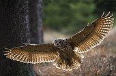 Eagle Owl in flight - Czech Republic