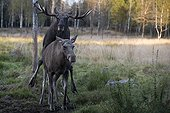 Mooses mating in a clearing - Sweden