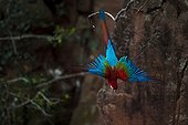 Green winged Macaw in flight - Mato Grosso Brazil