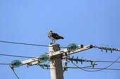 Osprey on a pylon - Salin des Pesquiers France