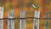 Blue Tit perched on an old fence in autumn