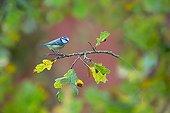 Blue Tit  perched on an oak tree in autumn