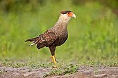 Crested caracara on a river bank - Mato Grosso - Brazil
