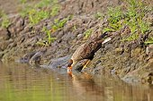 Crested caracara drinking on a river - Mato Grosso - Brazil