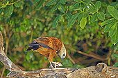 Black-collared hawk eating a fish - Mato Grosso - Brazil