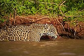 Jaguar walking into the water - Mato Grosso - Brazil