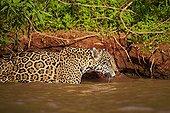 Jaguar se déplaçant dans l'eau - Mato Grosso - Brésil