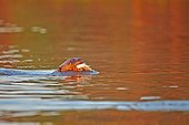 Giant otter eating a fish  - Mato Grosso - Brazil