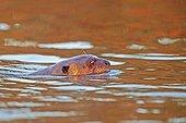 Loutre géante nageant - Mato Grosso - Brésil