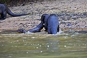 Giant otter protecting her baby - Mato Grosso - Brazil