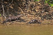 Giant otters walking on a river bank - Mato Grosso - Brazil