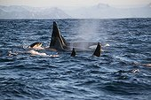 Young Killer Whale following the family group - Norway