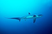 Pelagic thresher Shark in open water - Philippines